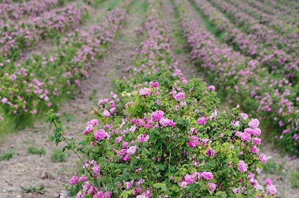 pole růží - přírodní kosmetika Nobilis Tilia
