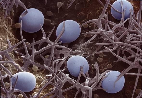 snímek siličnatých žlázek rozmarýnu lékařského - přírodní kosmetika Nobilis Tilia